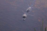 An immature American Alligator (Alligator mississippiensis) floats in shallow water near the Anhinga Trail in everglades National Park, Florida.