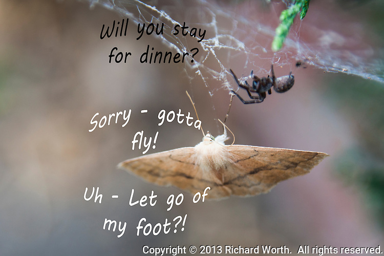 "A moth is temporarily snared in a spider's web leading to an imagined verbal exchange.  ""Will you stay for dinner?"" the spider asks.  ""Sorry, "" the moth replies, ""gotta fly!  Uh - Let go of my foot?!"""