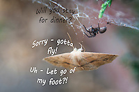 """A moth is temporarily snared in a spider's web leading to an imagined verbal exchange.  """"Will you stay for dinner?"""" the spider asks.  """"Sorry, """" the moth replies, """"gotta fly!  Uh - Let go of my foot?!"""""""