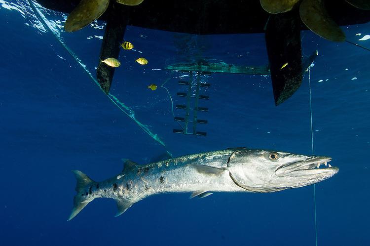 A great barracuda ( Sphyraena barracuda ) beneath a boat, Fathers reefs, Kimbe Bay