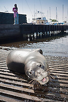 A female visitor watches a Hawaiian monk seal (Monachus schauinslandi) basking on a boat ramp, Honokohau Harbor, Kona Coast, Big Island