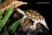 1109-1001  Texas Map Turtle at Night on Log, Graptemys versa  © David Kuhn/Dwight Kuhn Photography