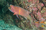 Sea of Cortez, Baja California, Mexico; an adult, male Mexican Hogfish (Bodianus diplotaenia) swimming alongside the rocky reef