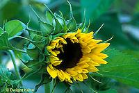 HS13-046d  Sunflower - flower opening - Helianthus spp.