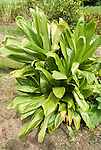 Hawaii: Molokai, Halawa Valley, ti plant seen during hike in past taro fields, ancient walls, to waterfalls, guided by Lawrence Aki..Photo himolo234-72400..Photo copyright Lee Foster, www.fostertravel.com, lee@fostertravel.com, 510-549-2202