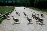 Oche. Goose..