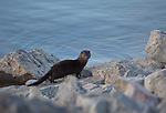 A wild mink on shoreline rocks at the Ninepipes Reservoir in western Montana
