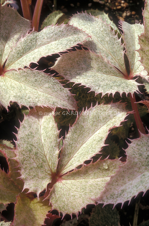 Helleborus Pacific Frost spiky sharp leaves with water droplet, white with green and pink edges
