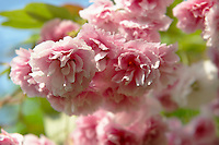 Stock Photos of close up of pink cherry blossom on a cherry tree. Funky stock photos library