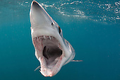 Shortfin Mako Shark (Isurus oxyrinchus), San Diego, California, USA, Pacific Ocean.