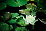 A large variety of flowers, like this white water lily, dot the 50-acre expanse of Brookside Gardens in Silver Spring, Maryland.