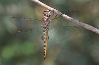 342950027 a wild male spot-winged glider pantala hymenaea perches on a dead stick in yuma county arizona