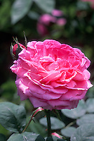Rosa 'Reine des Violettes' (Hybrid Perpetual, old garden rose), pink