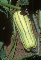 Summer squash vegetable Honeyboat (Delicata variety) growing on plant in garden, a striped squash in cream and green