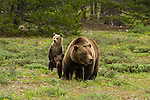 Silver-tipped grizzly 399 surveys a sage-filled meadow looking for potential dangers for her three young cubs in Grand Teton National Park, Wyoming.
