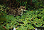 Fishing Cat, Indonesia
