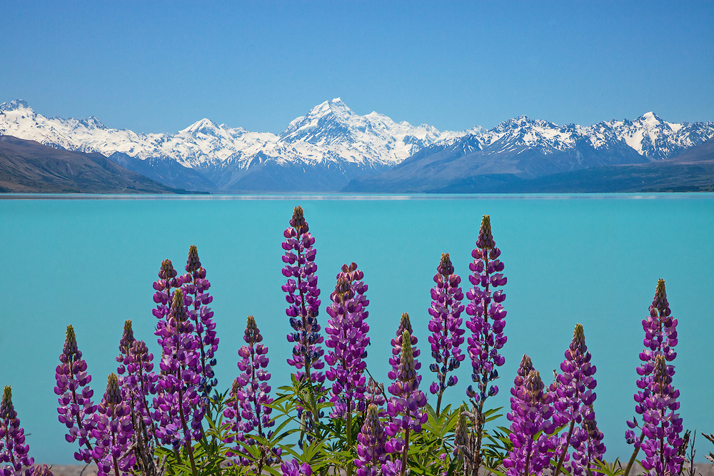 Purple Lupins, Lake Pukaki & Mount Cook, New Zealand