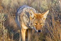Coyote (Canis latrans). The color of the coyote's pelt varies from grayish brown to yellowish gray on the upper parts, while the throat and belly tend to have a buff or white color. The forelegs, sides of the head, muzzle and feet are reddish brown (Wikipedia, 2008)