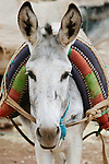 Portrait of a donkey, Morocco