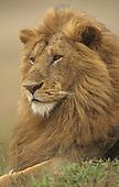 Adult male African Lion (Panthera leo), Masai Mara Game Reserve, Kenya, Africa.