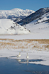 Two trumpeter swans stand on ice next to the open water of Flat Creek on the National Elk Refuge in Jackson Hole, Wyoming.