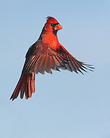 "Northern Cardinal male ""hanging"" in space."