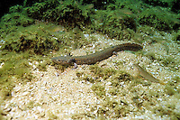 Mud Puppy Salamander, Lake Michigan<br /> <br /> ENGBRETSON UNDERWATER PHOTO