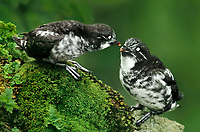 506760357 a wild pair of least auklets aethia pusilla a small pelagic bird perch together on a sheer cliff face on st george island in the pribiloff islands off alaska