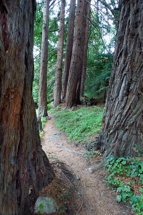 A trail leads into the Redwoods, Big Basin State Park, California.