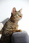 cat focused