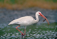 550500004 a juvenile white ibis eudocimus alba forages for waterborne prey in a small pond on a cattle ranch in the rio grande valley of south texas united states