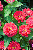 Zinnia Magellan Coral annual flowers AAS winner blooming in summer