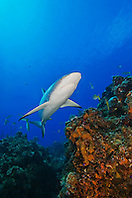 Caribbean Reef Sharks, Carcharhinus perezi, and yellowtail snappers, Ocyurus chrysurus, swimming over coral reef ledges, West End, Grand Bahama, Atlantic Ocean.