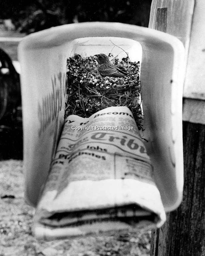 This bird finds a good place to build their nest in the Oakland Tribune newspaper mail box. (1977 photo by Ron Riesterer(