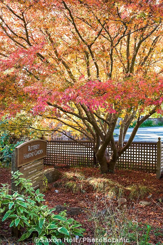 Japanese maple (Acer palmatum) in the butterfly habitat garden in autumn at Marin Art & Garden Center