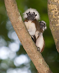 Cotton-top tamarin carrying young baby on its back.