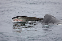 Fin Whale Balaenoptera physalus Lunge feeding showing balleen on upper jaw. Spitsbergen, Arctic Norway, North east Atlantic