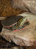 0216-1102  Western Painted Turtle Sunning on Rock, Chrysemys picta bellii  © David Kuhn/Dwight Kuhn Photography