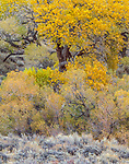 Cottonwood and sage, New Mexico
