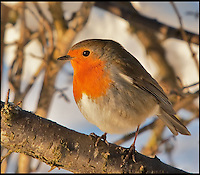 BNPS.co.uk (01202 558833)<br /> Pic: AdamTatlow/BNPS<br /> <br /> Winter Robin.<br /> <br /> Cotswold gamekeeper shoots amazing pictures of British wildlife - without the aid of long lenses and elaborate techniques.<br /> <br /> The incredible photos may look like they have been shot from miles away - but amazingly Adam Tatlow is actually just feet away from his wild subjects.<br /> <br /> The 46-year-old's affinity with nature has allowed him to get up close and personal with some of the UK's most endearing wildlife.<br /> <br /> Adam's trusty camera is never far from his side as he goes about his work as a gamekeeper on an estate in the Cotswolds countryside.<br /> <br /> He has built up a stunning portfolio of snaps that lift the lid on rarely-seen birds and animals found in forests throughout the country.<br /> <br /> Adam's subjects have included timid fox cubs, bounding hares, inquisitive hedgehogs and colourful kingfishers.<br /> <br /> He is so at one with nature that he knows how to call animals to him, and often gets within 30ft of them.