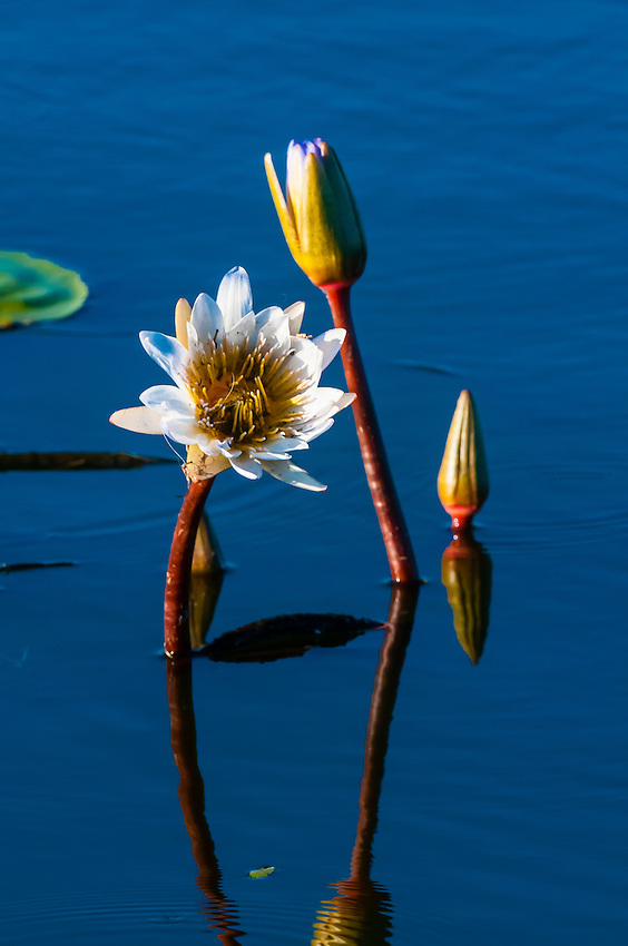 Flowers in a pond, Kwara Camp, Okavango Delta, Botswana.