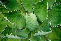 Fields of Maguey Ancho or Papalote cactus. La Ruta del Mezcal, Guerrero, Mexico.