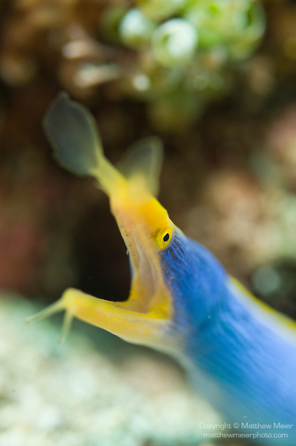 Anilao, Philippines; an adult Blue Ribbon Eel (Rhinomuraena quaesita) poking it's head out of a hole in the rubble on the sandy bottom, the brilliant blue coloring likely indicates this eel is a male