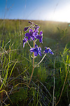 Deep purple Larkspur wildflowers as the sun rises over a hill in western Montana