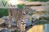 Bobcat ,Felis rufus,, North America.