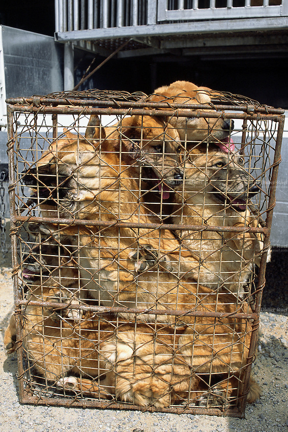 Korea. South Korea. Kimje area. Wonpyong. Dog market for dog meat ...