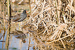 Columbia Ranch, Brazoria County, Damon, Texas; a solitary Common Gallinule (Gallinula galeata) standing at the edge of the reeds, reflecting in the water's surface of the slough in afternoon sunlight
