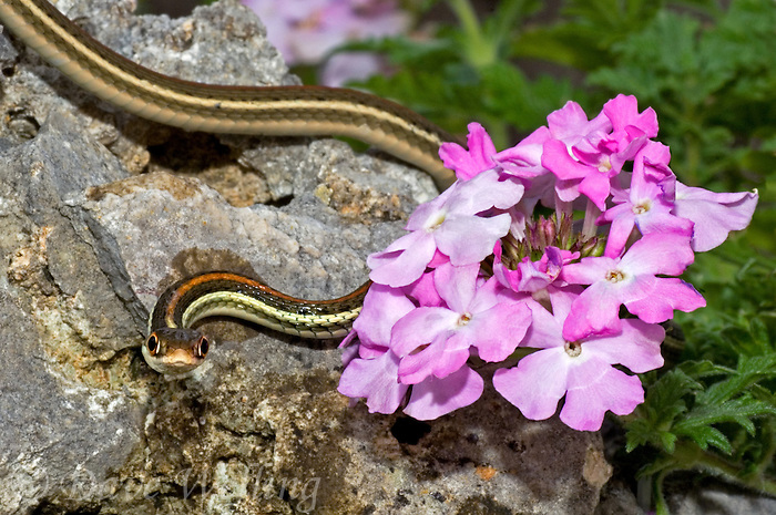 468570004 a wild adult redstripe ribbon snake thamnophis proximus rubrilineatus crawls among pink wildflowers in the texas hill country in central texas