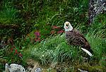 A bald eagle calling, Unalaska Island, Alaska.