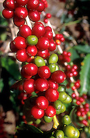 Ripe coffee beans (cherry), coffee plantation on Big Island of Hawaii
